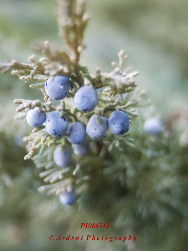 Juniper Photograph by Sarah McTernen