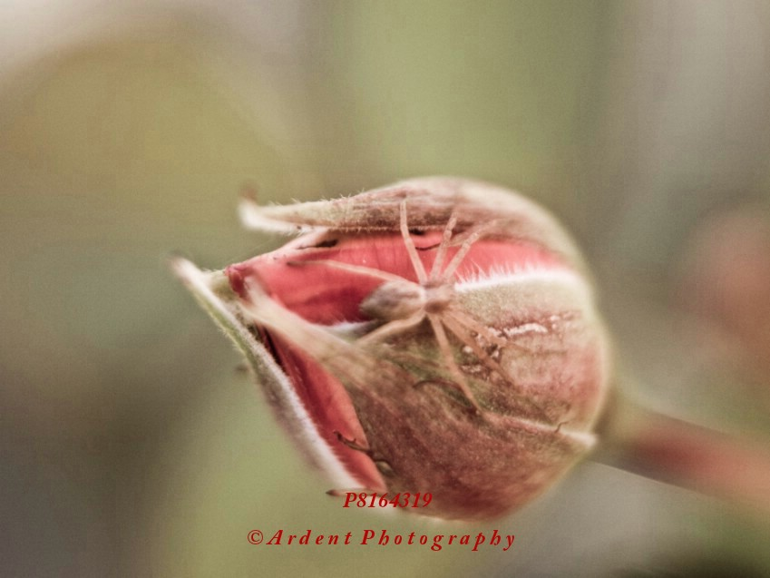Spider Rose Photograph