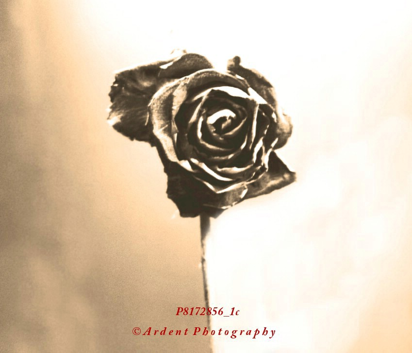 Sepia Rose Photograph