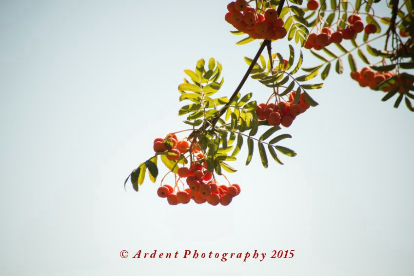 Rowan Tree Photograph