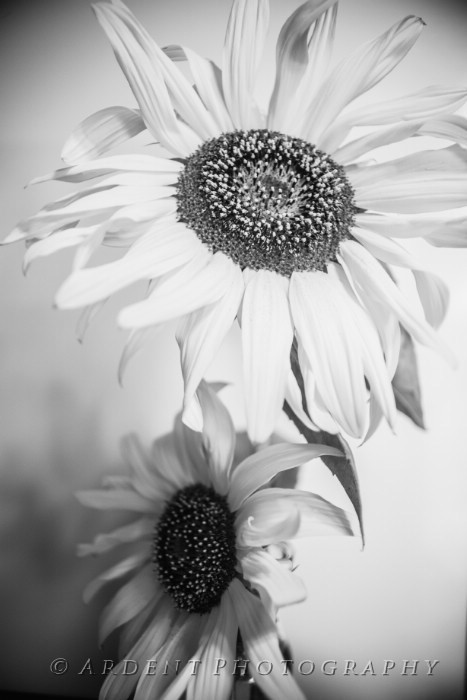 Sunflower Still Photograph